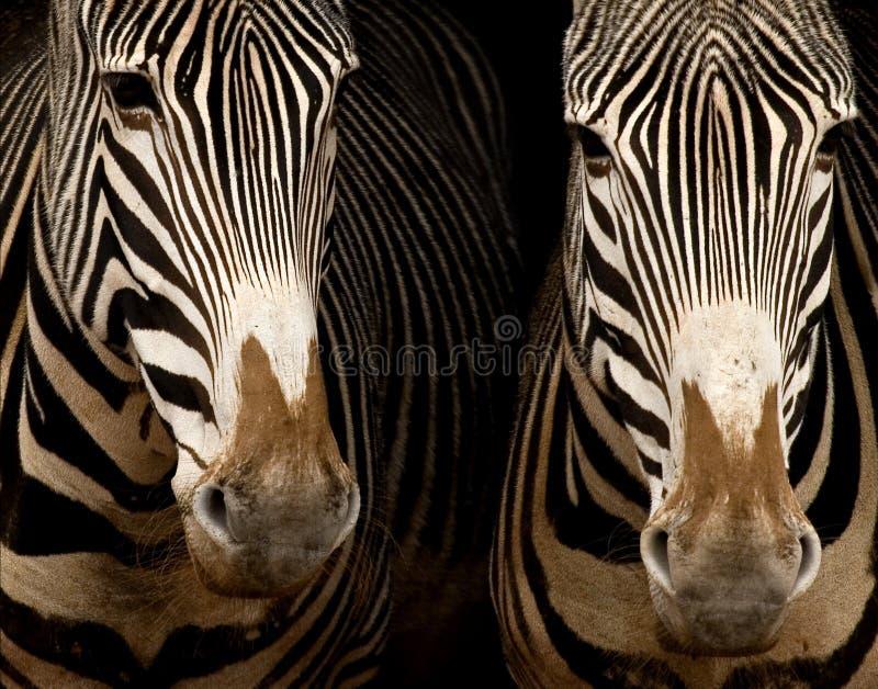dwa grevy zebry fotografia stock