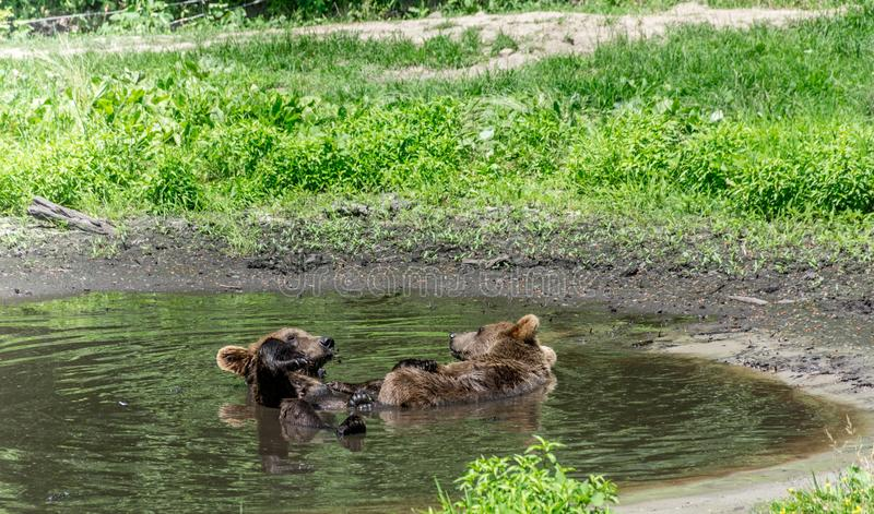 Dwa grizzly niedźwiedzia Cieszy się basenu przyjęcia obrazy stock