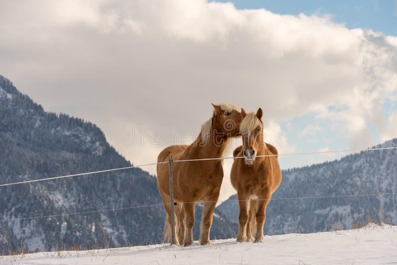 Dwa Haflinger konia na zimy łące i halnych szczyty na tle zdjęcia stock