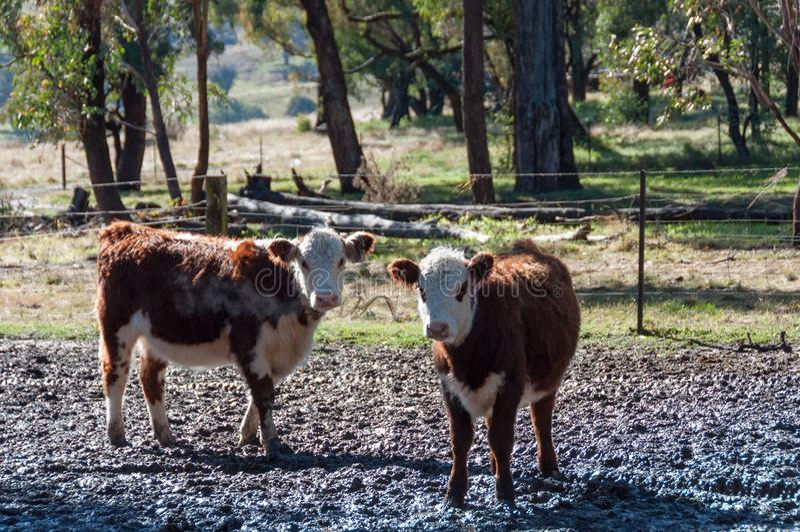 Dwa hereford łydki na padoku na gospodarstwie rolnym zdjęcia royalty free