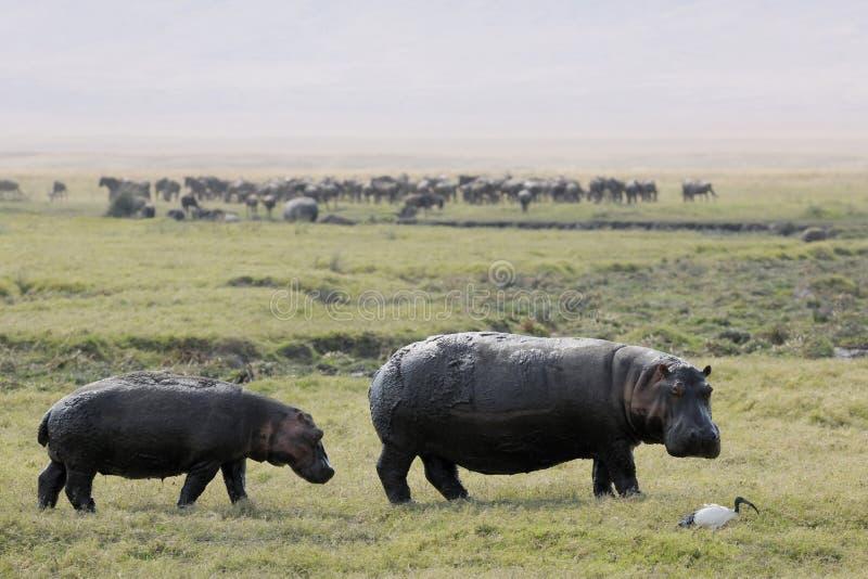 Dwa hipopotamów odprowadzenie obraz royalty free