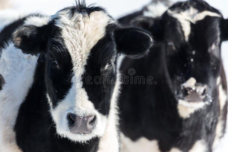 Dwa Holstein łydki obrazy stock