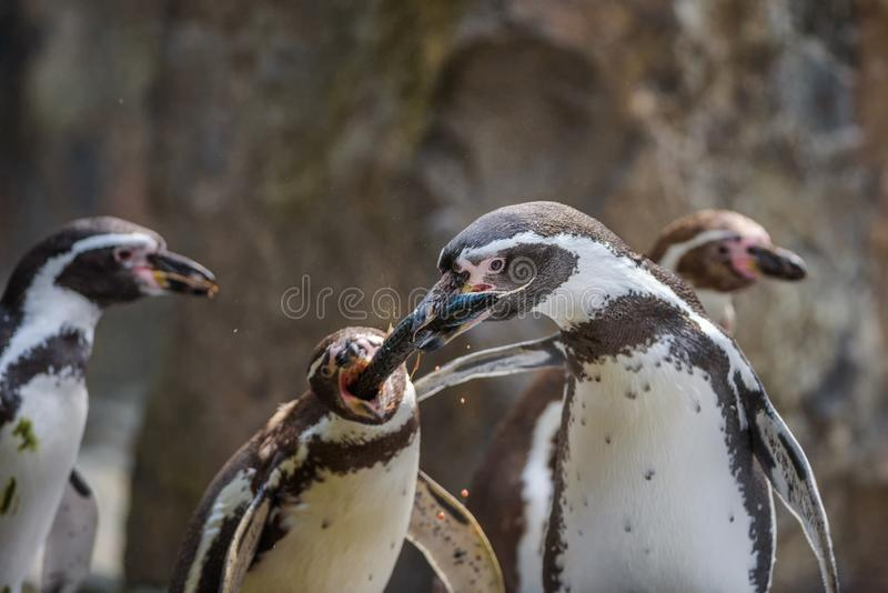 Dwa Humboldt pingwinów walka dla ryby zdjęcie stock