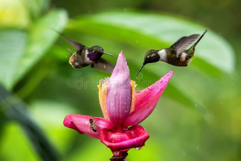 Dwa hummingbirds unosi się obok pomarańczowego kwiatu, tropikalny las, Ekwador, dwa ptaka ssa nektar od okwitnięcia w ogródzie zdjęcie stock