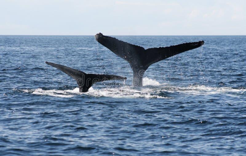 Dwa Humpback wieloryba ogonu w oceanie zdjęcia stock