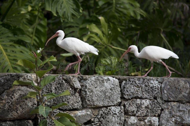 Dwa ibisów Biały spacer Wzdłuż koral skały ściany w Floryda fotografia stock