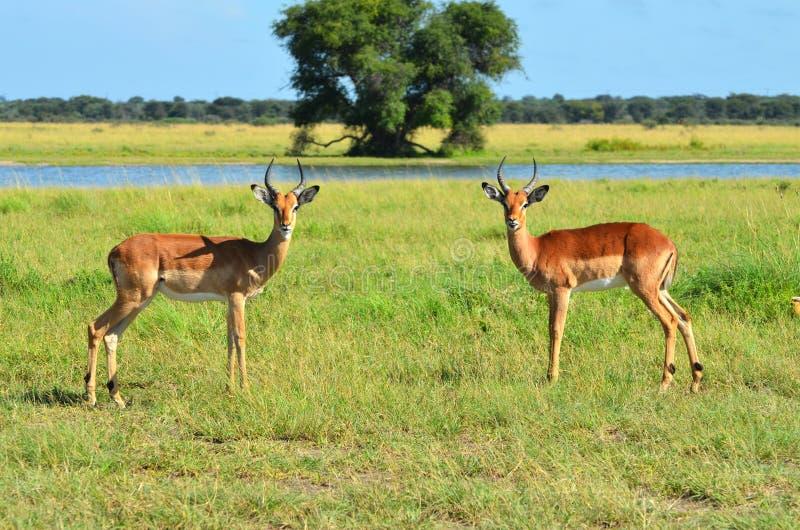 Dwa Impalas w Botswana fotografia stock