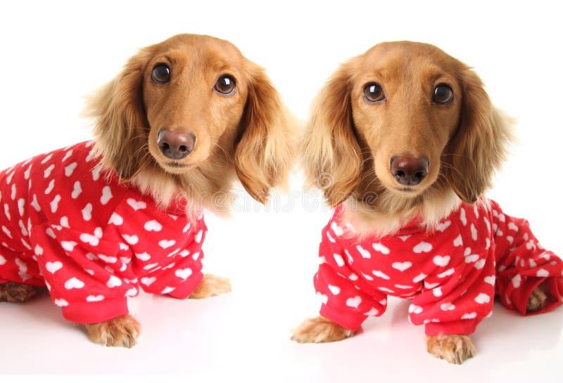 Dwa jamnika szczeniaka psa jest ubranym czerwone valentines dnia piżamy z białymi sercami zdjęcia stock