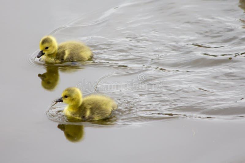 Dwa kaczątek Puszysty Żółty Pływać obrazy royalty free