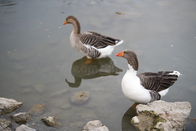 Dwa kaczek sen na jeziorze zdjęcia royalty free