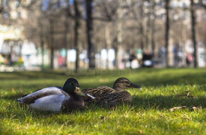 Dwa kaczka na zielonym lown w parku fotografia stock