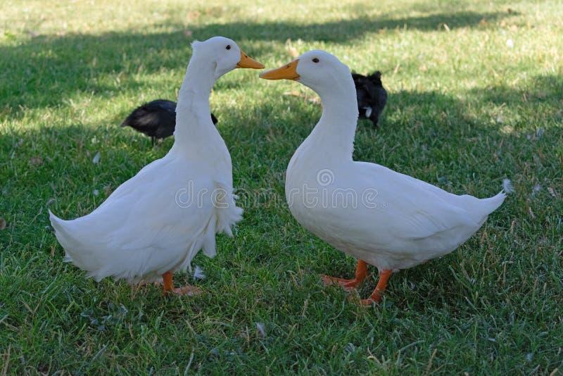 Dwa kaczki opowiada do siebie na trawie fotografia royalty free