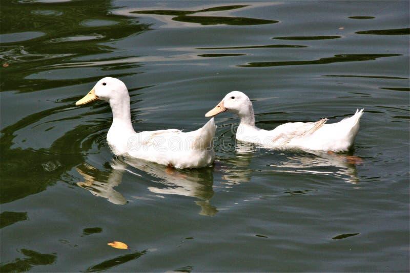 Dwa kaczki pływa przy Jeziornymi ogródami w Kuala Lumpur zdjęcia royalty free
