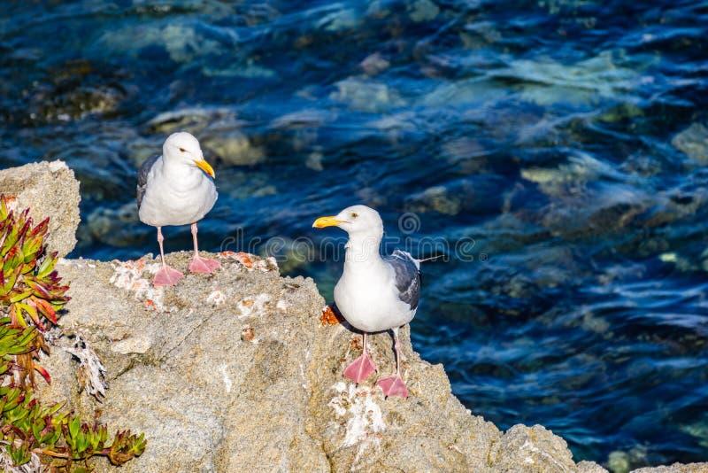 Dwa Kalifornia frajera na skale, Pacyficzny gaj, Monterey zatoka zdjęcie royalty free