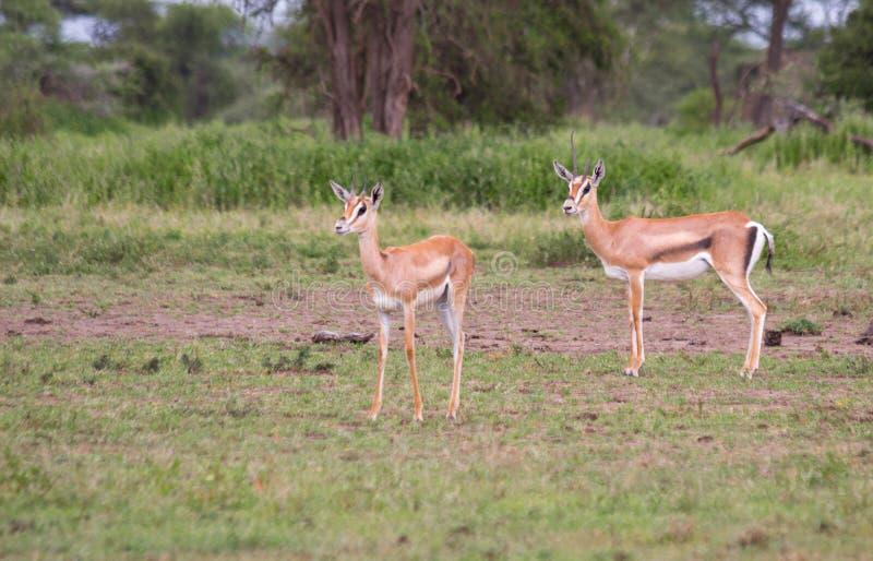 Dwa kobiet Thomson gazela zdjęcia stock