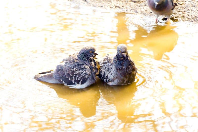 Dwa kochanków gołąbka w kolor żółty wodę fotografia stock