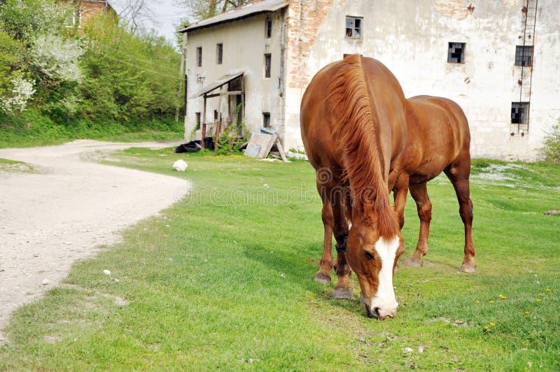 Dwa koni brown pasać obrazy royalty free