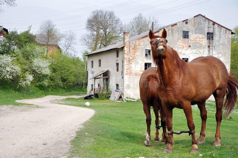 Dwa koni brown pasać obraz royalty free
