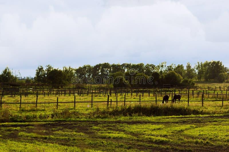 Dwa koni cisawy pasać obraz stock
