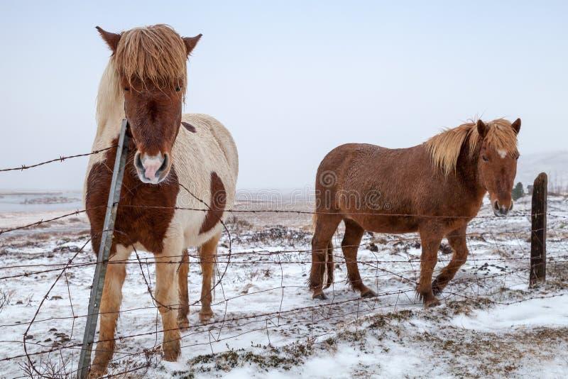 Dwa koni Islandzki spacer na śnieżystej łące obrazy royalty free