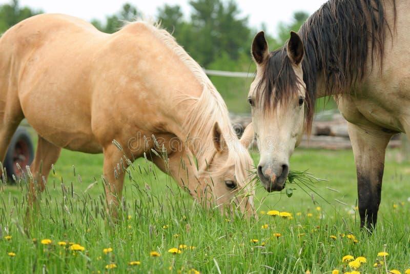 Dwa koni pasać zdjęcie stock