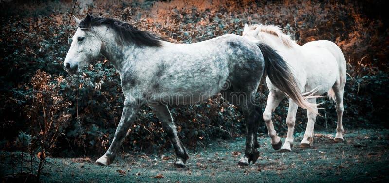 Dwa konia bawić się w polu fotografia royalty free