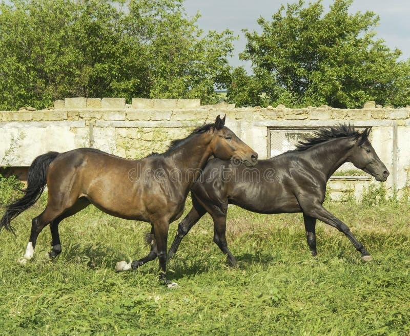 Dwa konia biega blisko białego drewnianego ogrodzenia fotografia royalty free