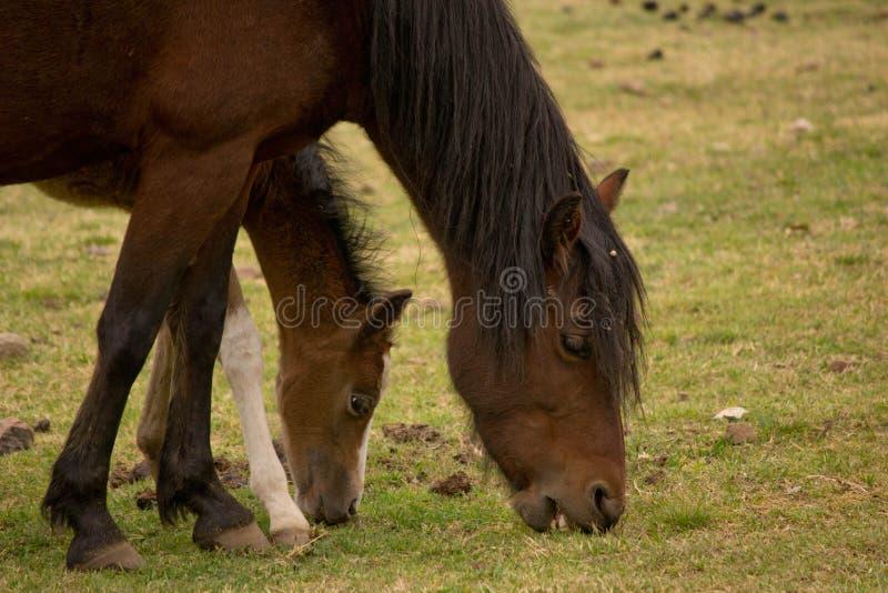 Dwa konia jedzą trawy obrazy stock