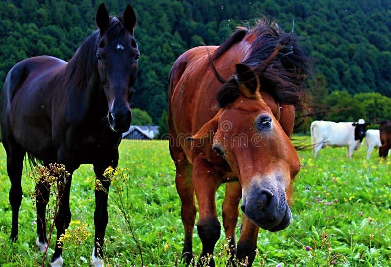 Dwa konia na łące obraz royalty free