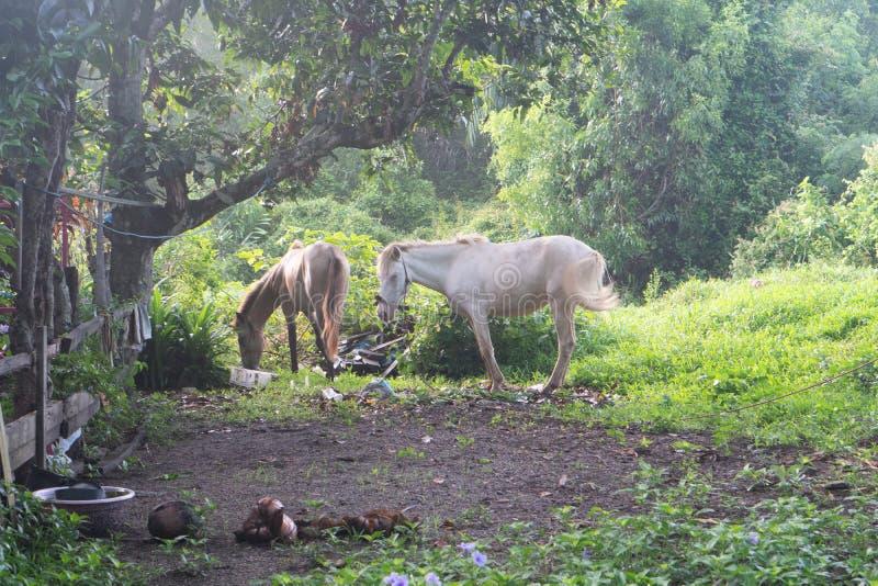Dwa konia przy polem w Tajlandia obraz stock
