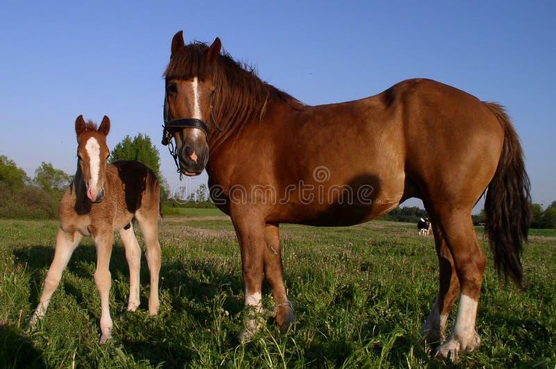 dwa konie zdjęcia royalty free