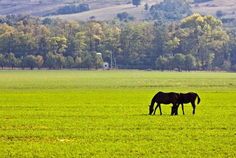 dwa konie jedzenia trawy zdjęcie stock