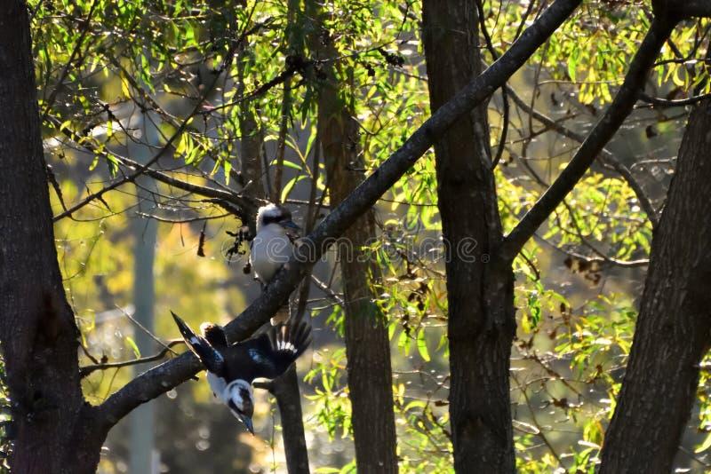 Dwa Kookaburras w drzewie zdjęcia stock