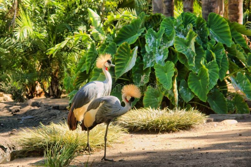 Dwa koronowanego żurawia obraz royalty free