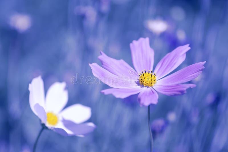Dwa kosmosu kwitną białego i purpurowego na błękitnym tle Selekcyjna miękka ostrość zdjęcia royalty free