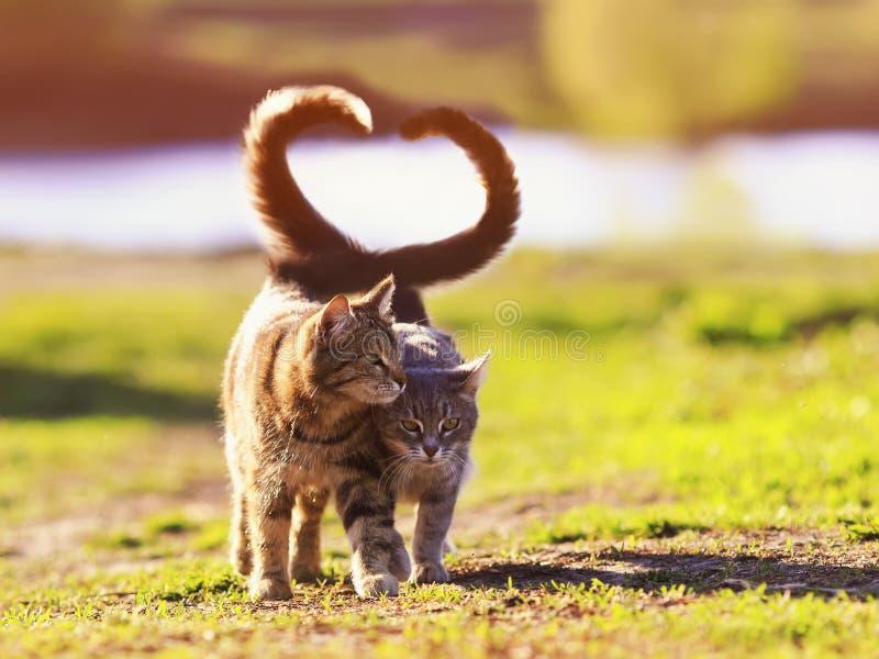 dwa kotów młody spacer w Pogodnej łące na wiosna dniu podnosi ich opakowanie i ogony w formie serca one obrazy royalty free