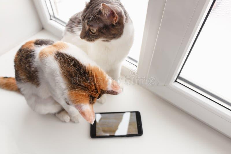 Dwa kota siedzą na jeden one i windowsill spojrzenia przy ekranem smartphone zdjęcia royalty free