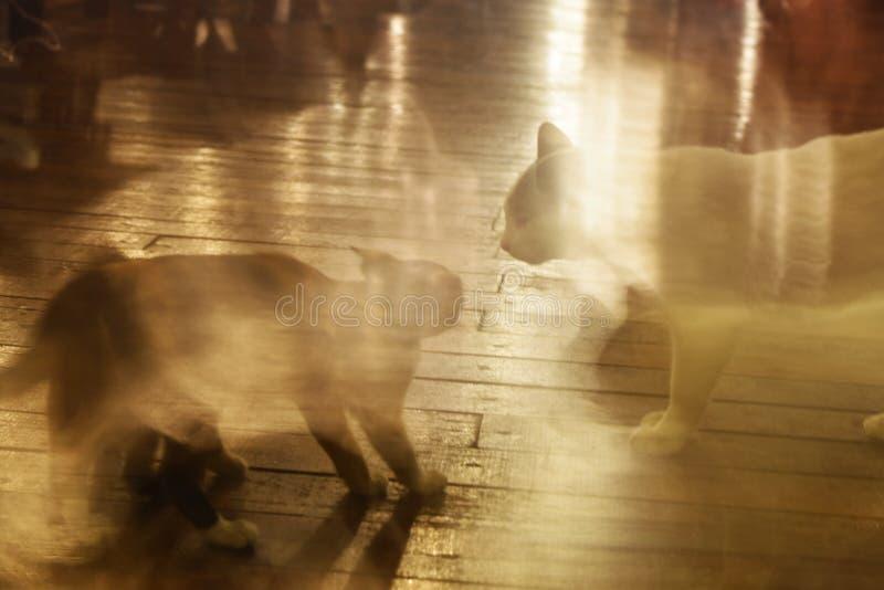Dwa kota walka i wspólna konfrontacja z prędkością i ruchem zdjęcie stock