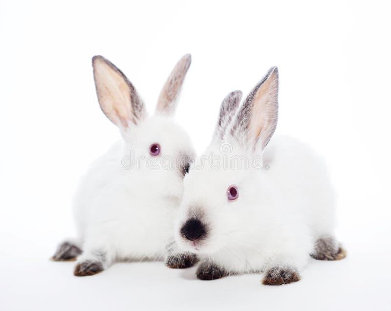 Dwa królika fotografia stock