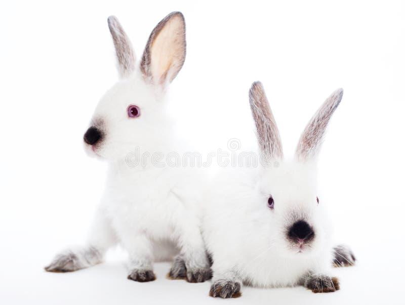 Dwa królika zdjęcia royalty free