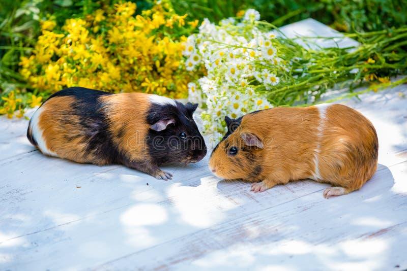 Dwa królika doświadczalnego z kwiatami zdjęcie royalty free