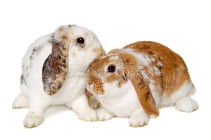 Dwa królika odizolowywającego na białym tle zdjęcia stock