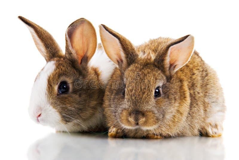 dwa króliki fotografia stock
