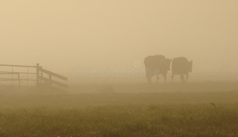 Dwa krowy chodzi w ranku świetle obraz stock