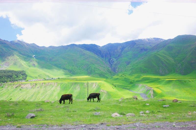 Dwa krowy pasają zdjęcie stock
