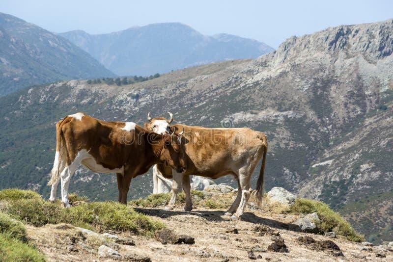 Dwa krowy wolno wędruje na halnej łące zdjęcie royalty free