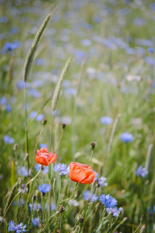 Dwa kukurydzanego maczka w kwiatu polu zdjęcie stock