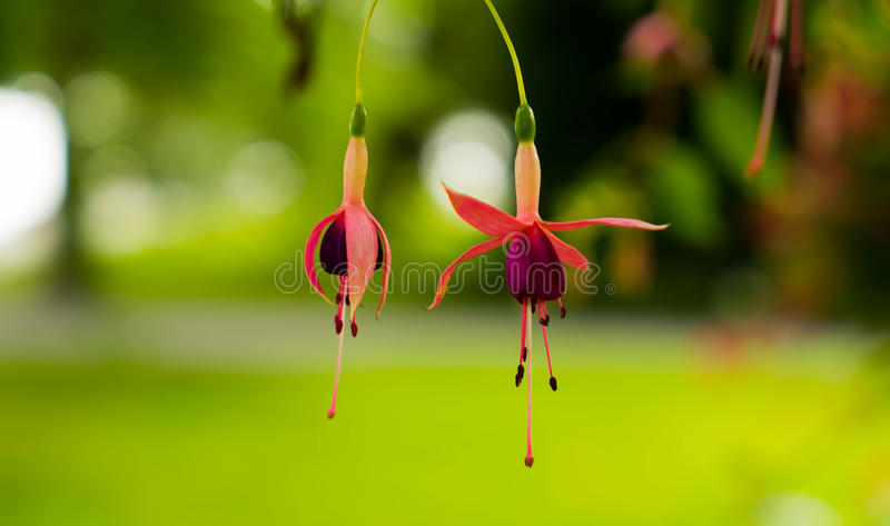 Dwa kwiatonośnego fuksja kwiatu na bardzo pięknym zamazanym tle zdjęcie royalty free