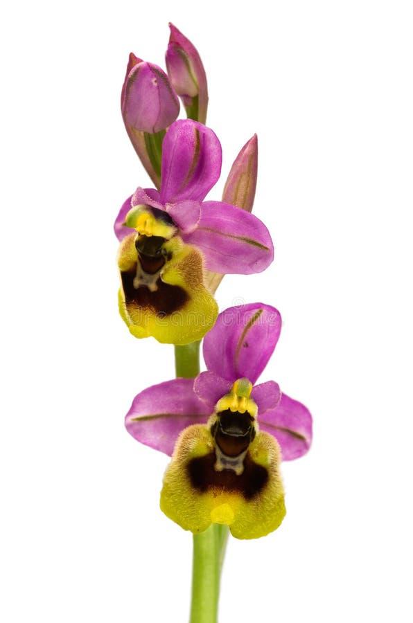 Dwa kwiatu dzika Sawfly orchidea nad bielem - Ophrys tenthredinifera - zdjęcie royalty free