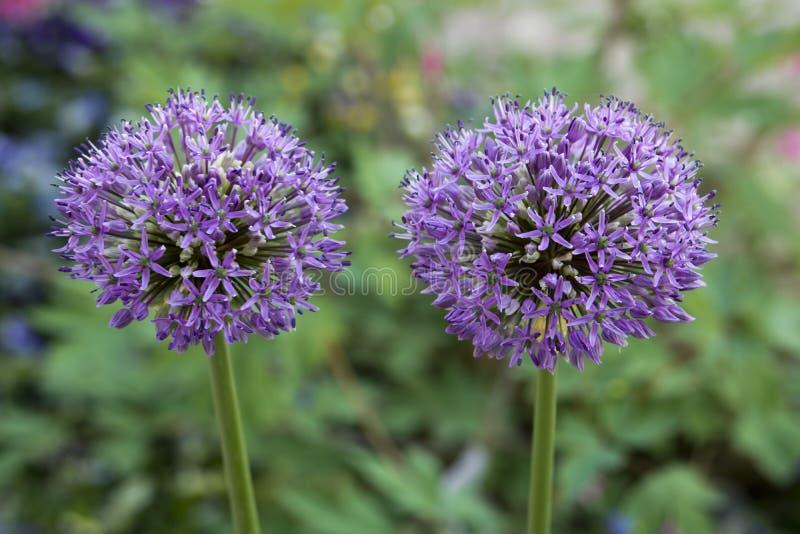Dwa kwitnącego alliums w ogródzie zdjęcie royalty free